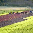 Avomaan salaattien tuotantokuvia