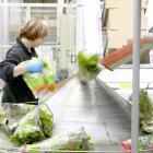 Kasvihuonesalaattien tuotantokuvia